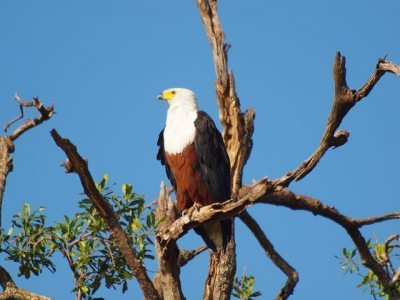 fish_eagle_safari