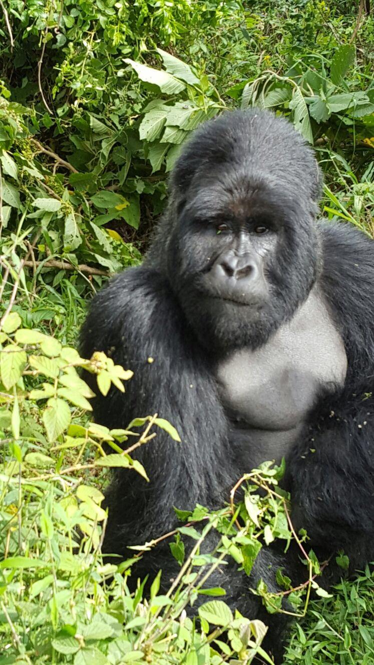 flugsafari_zu_den_gorillas