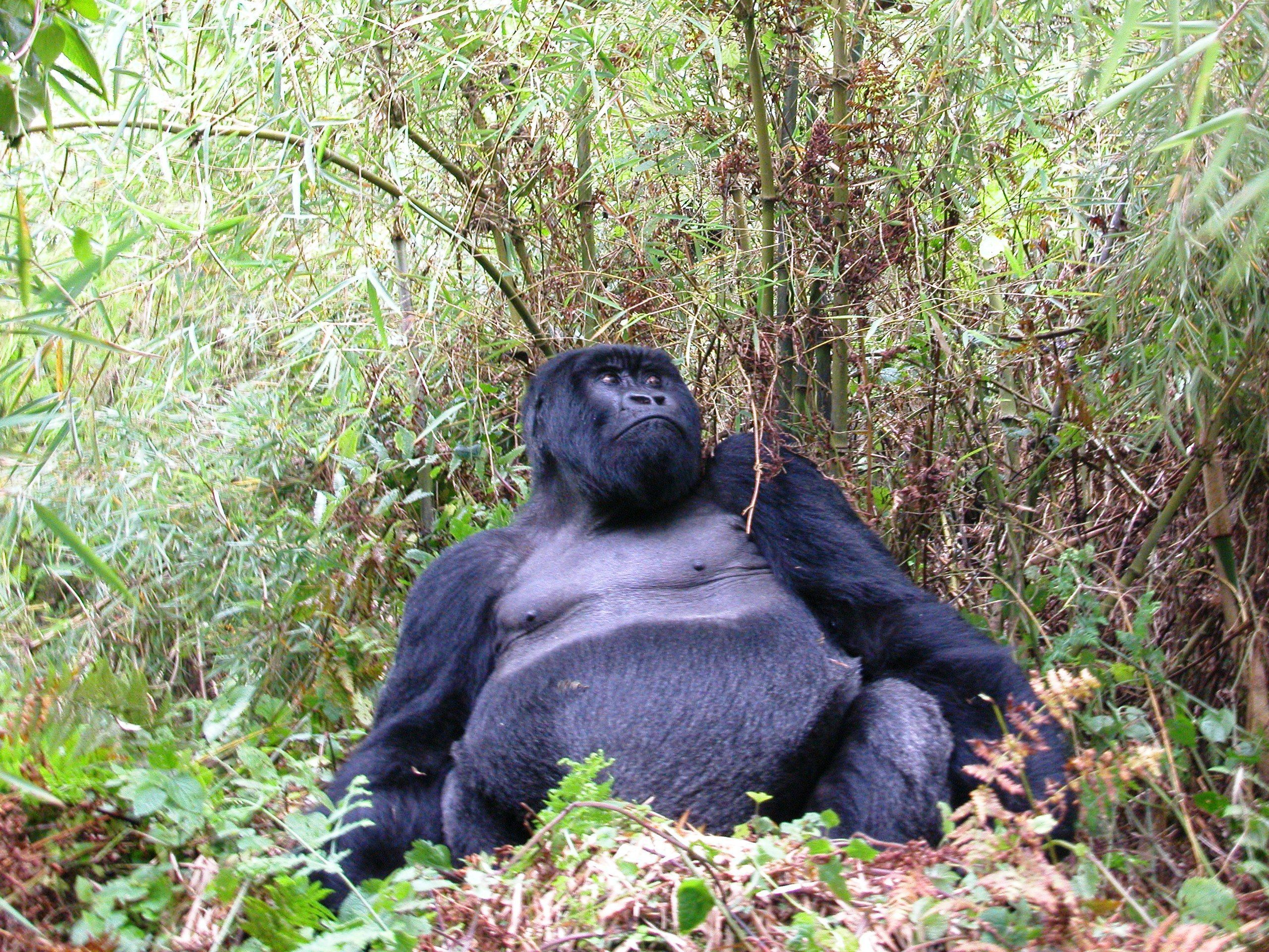 ruanda_gorilla_express