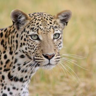 sunway_botswana_moremi_gr_leopard_terri_stewart_47_20171003_1470377955