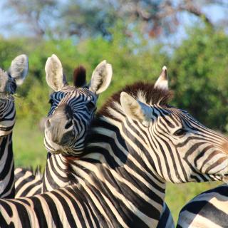 sunway_botswana_moremi_gr_zebra_jayne_harley_img_5354_20171003_1629739325