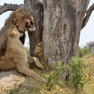 sunway_botswana_moremi_lion_erika_koch_2_20171003_1182490228
