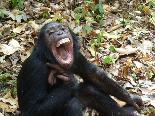savanne_schimpansen