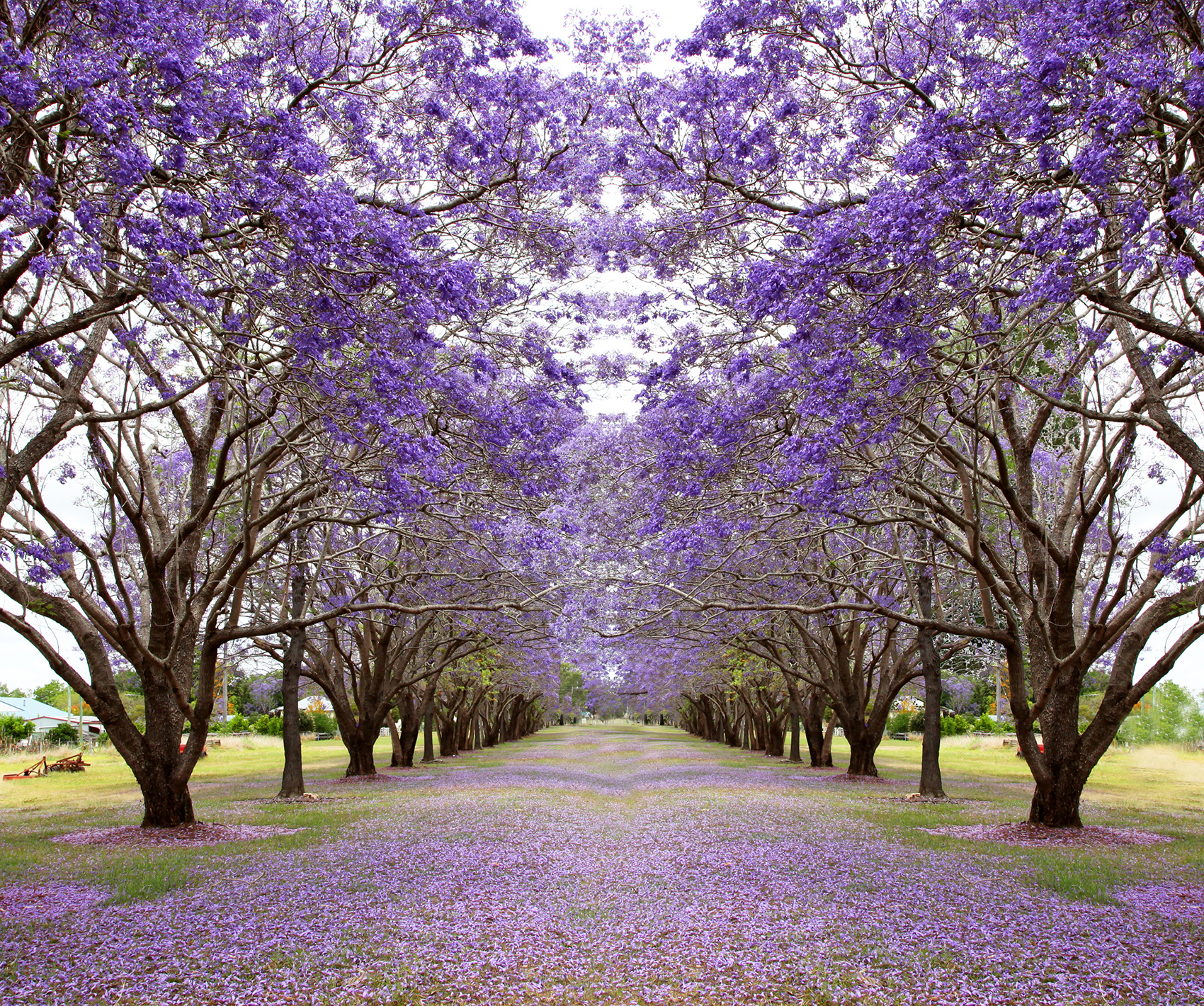 Beautiful Jacaranda trees in New Farm Park, Queensland, Australia