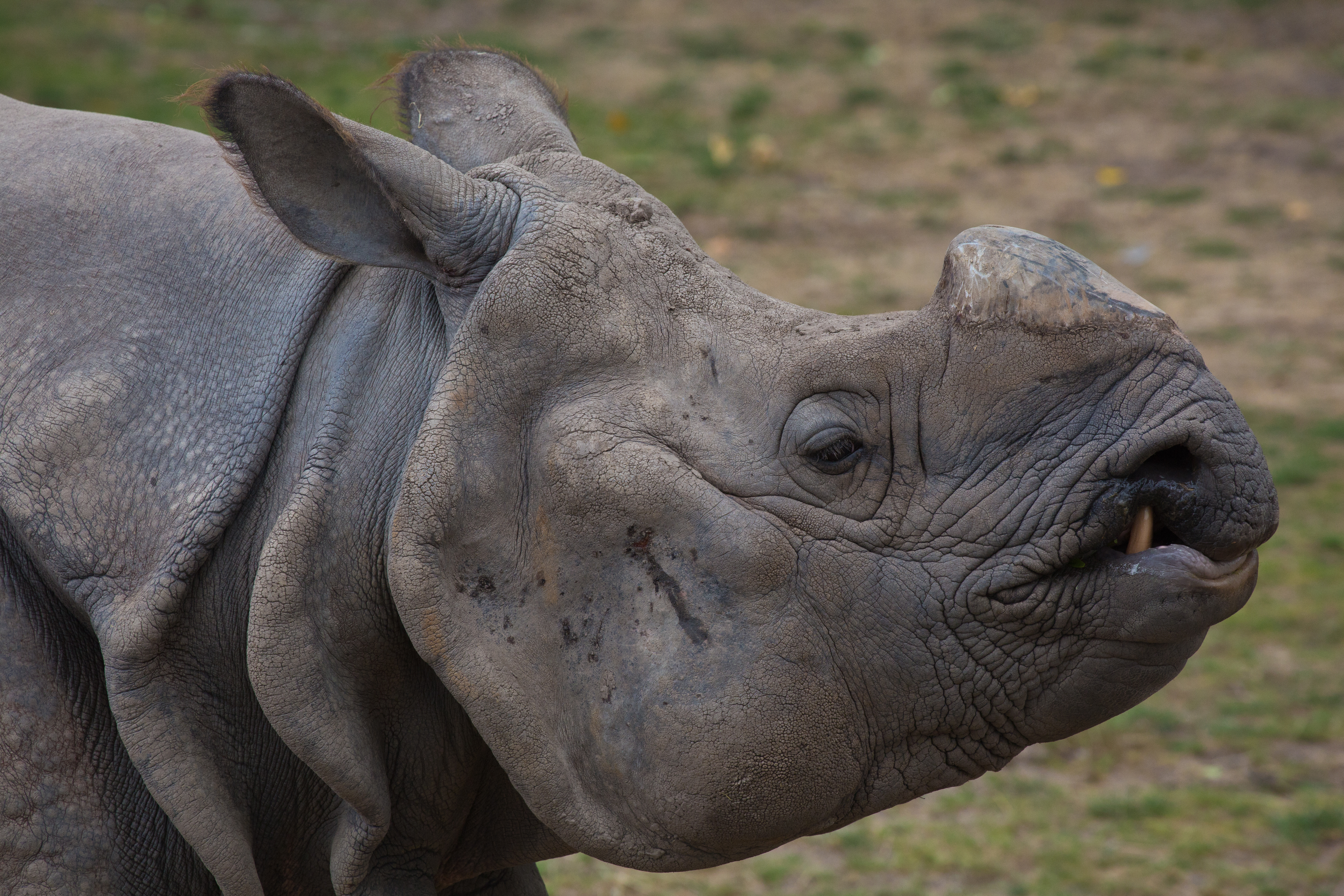 White Rhino without its horn