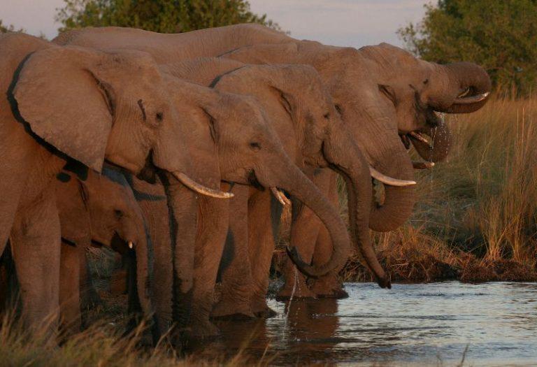 elephant-herd-drinking-bodumatau-mgr
